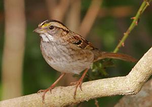White-throated Sparrow (tan morph)