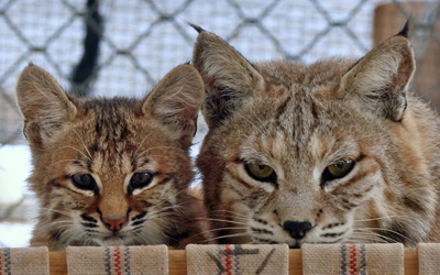 Bobcat kitten with foster mother Southwest Wildlife