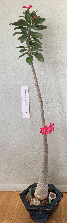 Adenium arabicum #2