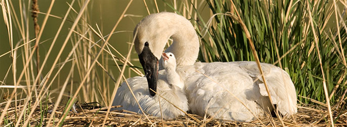 Wisconsin swans reach record high