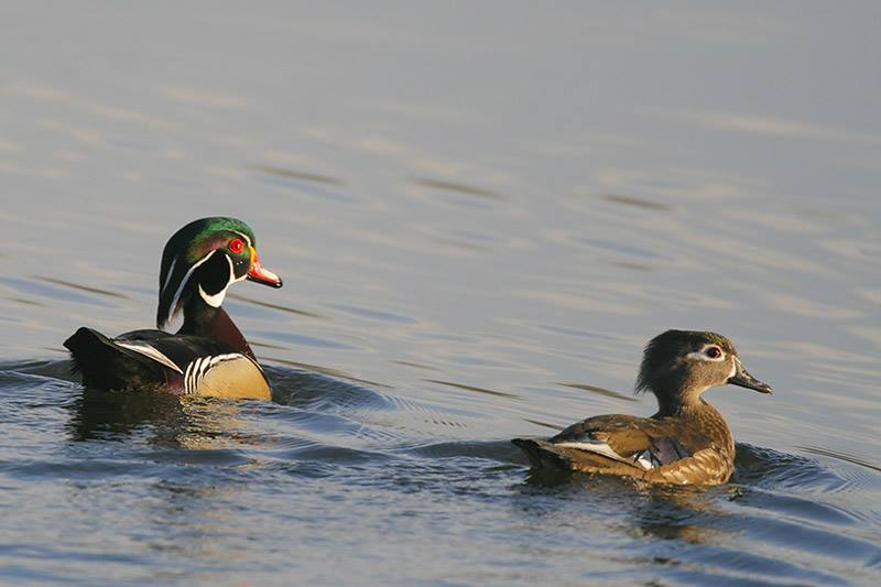 Wood Duck male & female