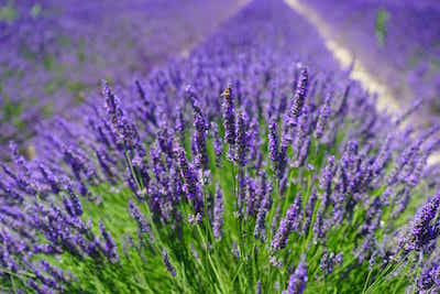 For Love of Lavender