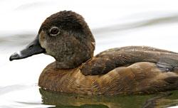 Ring-necked Duck -- female