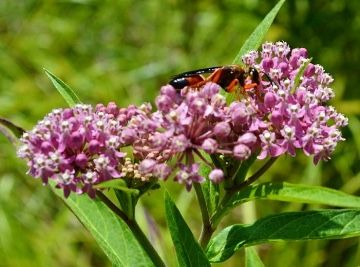 CLE Metroparks Great Golden Digger Wasp