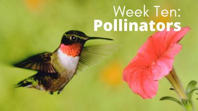 Audubon at Home: Week Ten - Pollinators