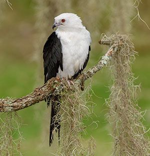 Luna the Swallow-tailed Kite by Alan Murphy