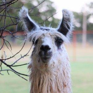 Yolo (Llama)