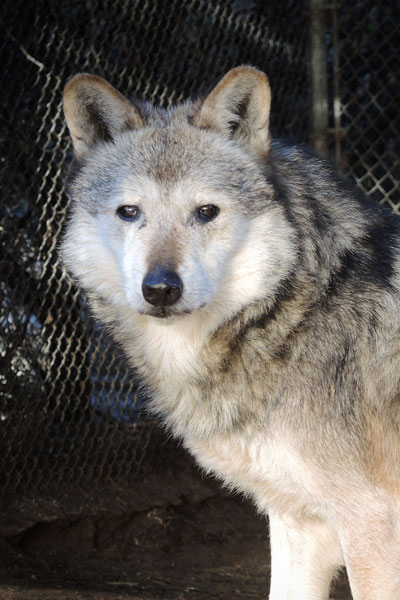 M731 Oz Mexican Gray Wolf Southwest Wildlife Scottsdale Arizona