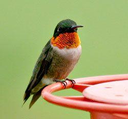 Ramp Up Your Hummingbird Feeders