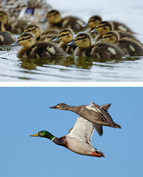Mallards Continue to Adapt and Thrive