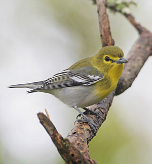 Yellow throated vireo fall - photo#41