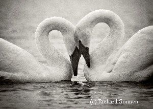 Do Trumpeter Swans mate for life?