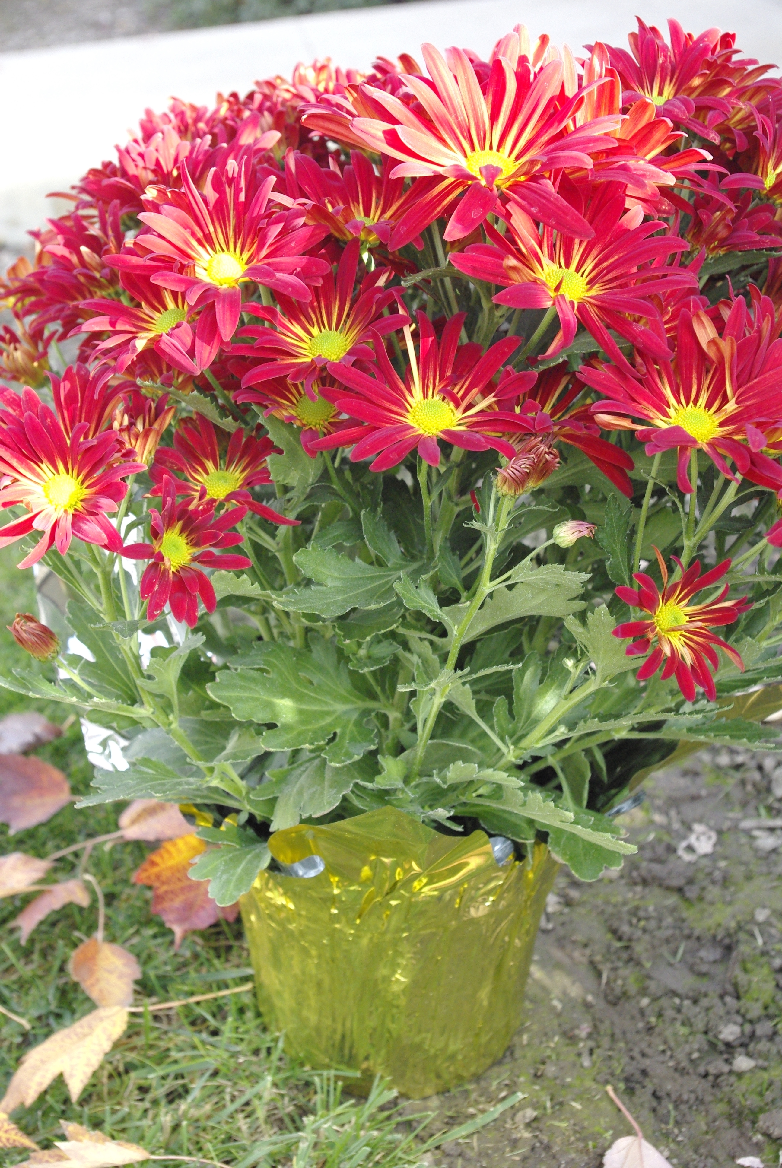 Chrysanthemum plant