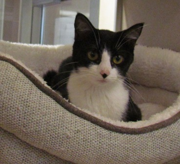 pin ne lincoln ragdoll omaha kittens available nebraska island