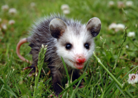 Opossums, Squirrels, Rabbits, and More