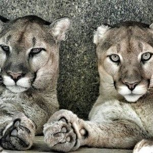 Build A New Home for Mountain Lions