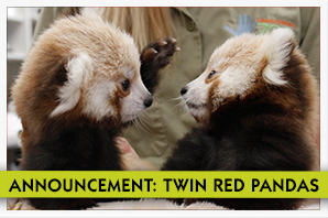 Red Panda Twins Announcement