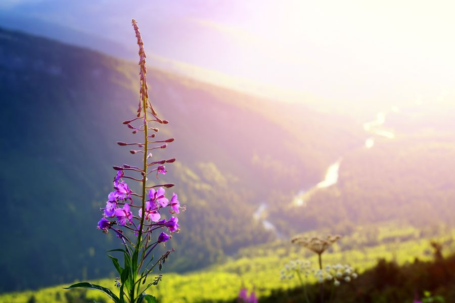 Fireweed plant on a mountain overlooking a valley in Montana