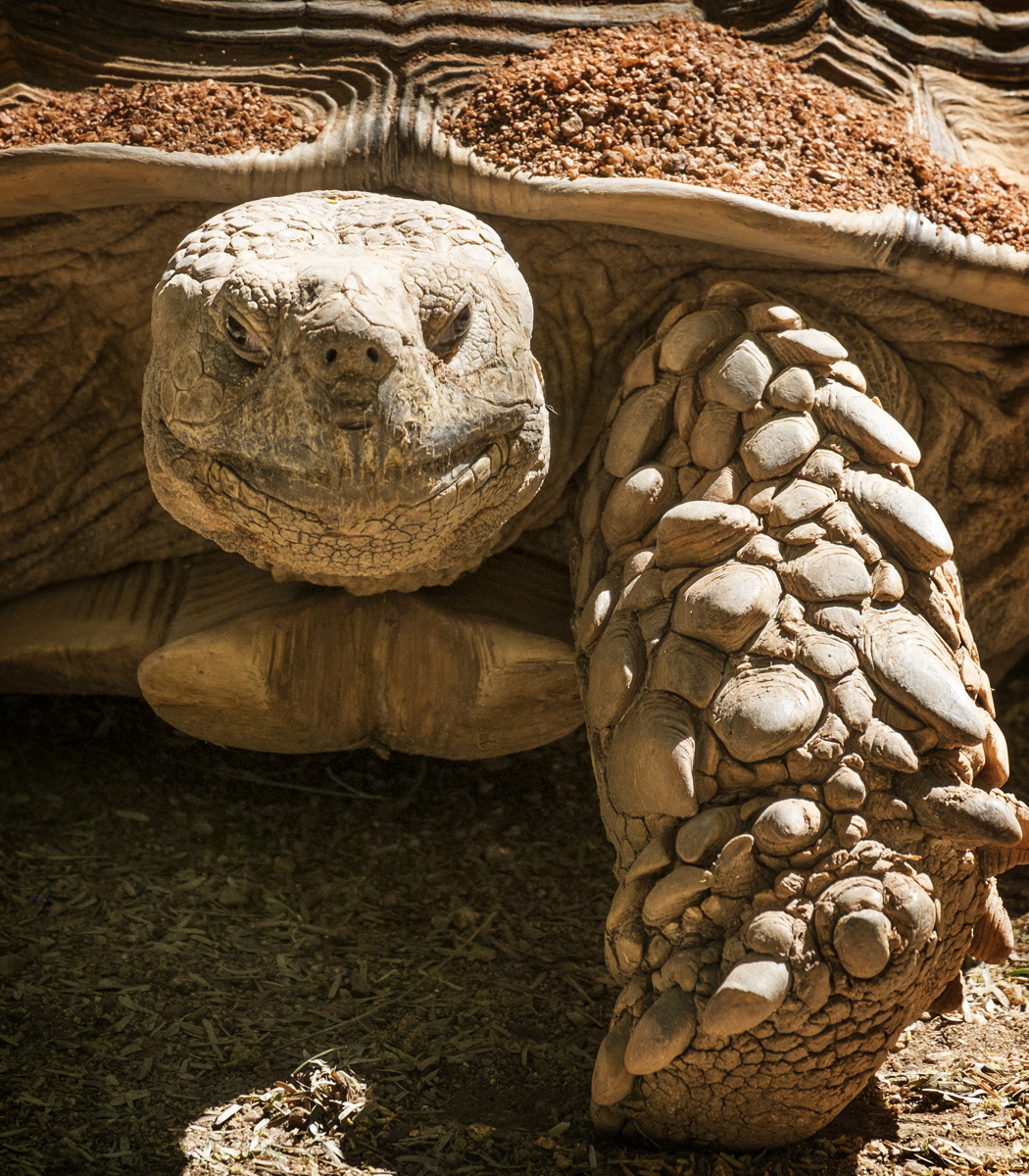Goliath Tortoise