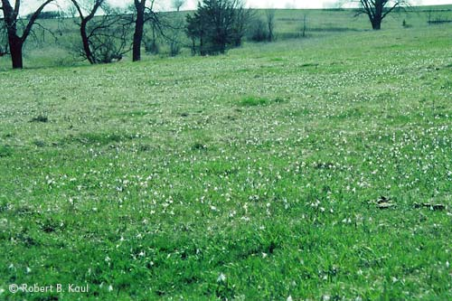 Prairie Trout Lily