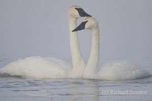 How can you tell a male from female swan?