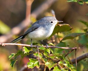 Beak of the Week: Blue-gray Gnatcatcher