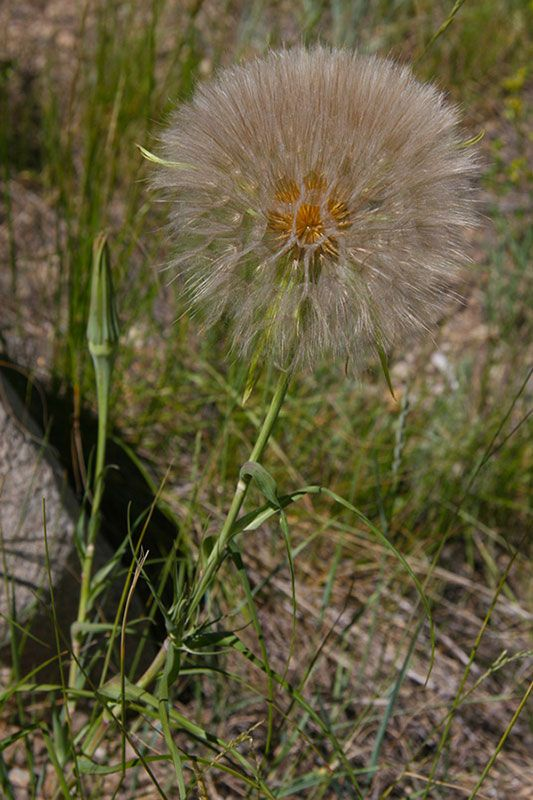 Salsify (gone to seed)