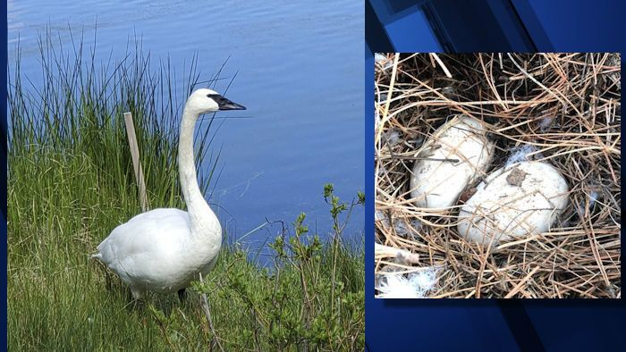 Name chosen for Sunriver's  (and The Trumpeter Swan Society) new trumpeter swan