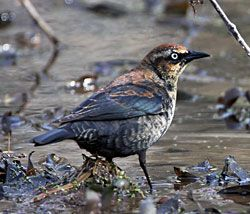 Rusty Blackbird (first winter male)