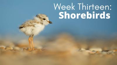 Audubon at Home: Week Thirteen - Shorebirds