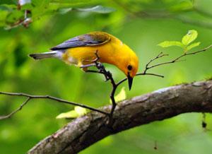 Beak of the Week: Prothonotary Warbler