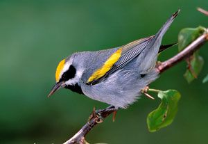 Beak of the Week: Golden-winged Warbler