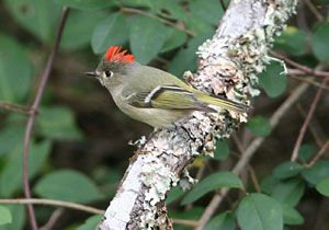 Ruby-crowned Kinglet displaying crown patch