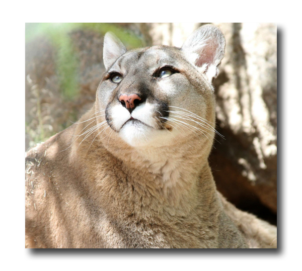 Maya Mountain Lion Southwest Wildlife