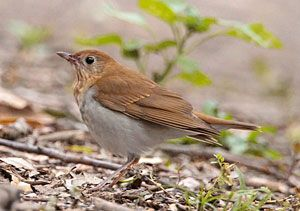 Beak of the Week: Veery