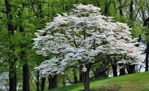 Dogwoods in Our Midst, All Year Long
