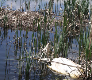 TTSS DISCOVERS TRUMPETER SWAN SLAIN ON IDAHO NEST AND OFFERS REWARD