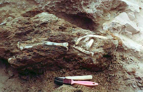 anthracothere bones