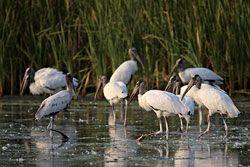 Beak of the Week: Wood Stork
