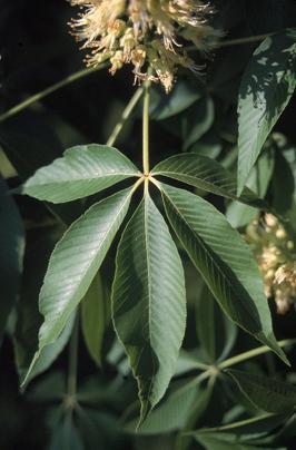 """Ohio Buckeye - Pack of 100 Seedlings (6""""-12"""")"""