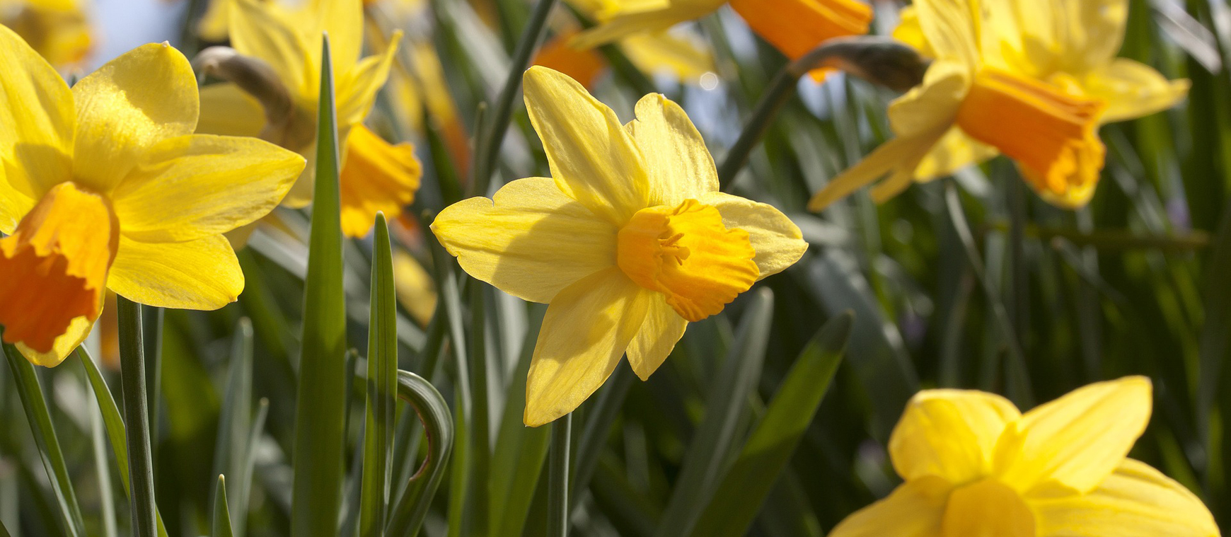 Hospice Daffodils arrive March 9