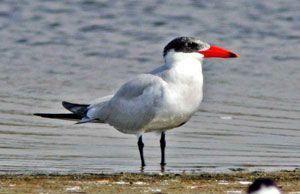 Beak of the Week: Caspian Tern