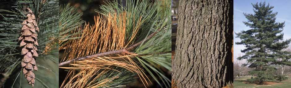 """White Pine - Pack of 25 Seedlings (6""""-9"""")"""