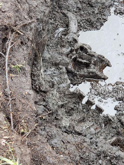 Bison Skull & Vertebrae