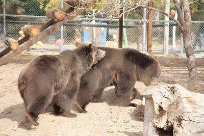 Bears in a zoo.