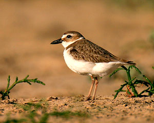 Beak of the Week: Wilson's Plover