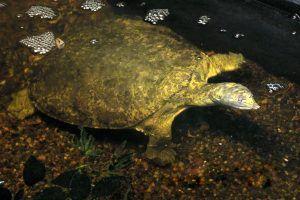 Hubertus the Florida Soft-shell Turtle