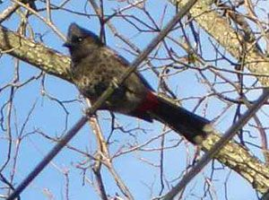 Red-vented Bulbul Census Call for Help