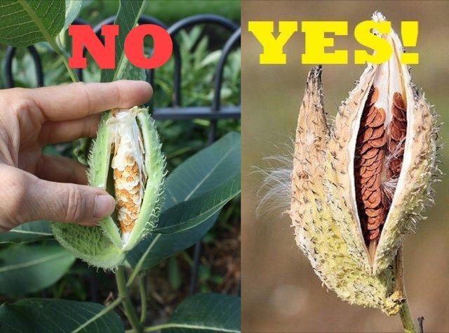Harvest Milkweed Pods for Monarchs