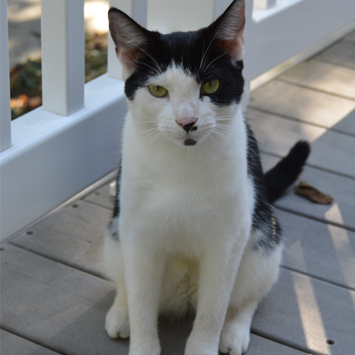 LOST: Cat (Ozzy)